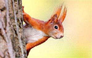 red-squirrel_2677337b